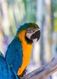 Colore dell'ara del pappagallo bello sull'albero Immagine Stock