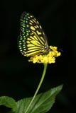 Colore della farfalla Fotografie Stock Libere da Diritti