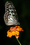 Colore della farfalla Immagine Stock