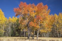 Colore di autunno del cielo blu degli alberi di Aspen Fotografia Stock Libera da Diritti