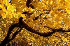 Colore di caduta, olmo nero (anche conosciuto come l'olmo del sughero) Fotografia Stock Libera da Diritti