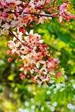 Colore di Cassia Bakeriana Craib Immagine Stock Libera da Diritti