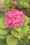 Colore di fucsia del fiore dell'ortensia Immagini Stock Libere da Diritti