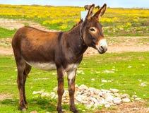 Colore di marrone dell'animale da allevamento dell'asino che sta sull'erba del campo Fotografie Stock Libere da Diritti