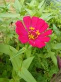 Colore di rosa del fiore di Colorfull di belle foto dello Sri Lanka immagini stock