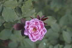 Colore di rosa di Rosa nel giardino Immagine Stock