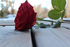 Colore dolce del fiore della rosa rossa sul pavimento fuori immagine stock