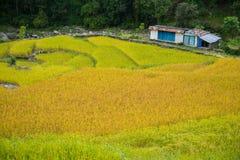 Colore due della risaia nell'area di conservazione di Annapurna, Nepal Fotografia Stock Libera da Diritti