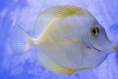 Colore esotico animale dell'acquario esotico del pesce di Diskus immagini stock libere da diritti