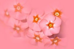 Colore floreale del corallo del fondo Macchiatura del primo piano del flox dei fiori fotografie stock libere da diritti