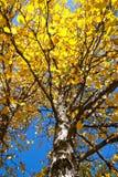 Colore giallo andante dei pioppi Immagine Stock Libera da Diritti