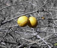 Colore giallo in bianco e nero Fotografie Stock Libere da Diritti