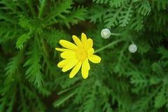 colore giallo cinese del fiore Fotografie Stock Libere da Diritti