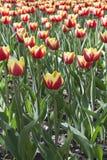 Colore giallo con i tulipani rossi Fotografia Stock Libera da Diritti