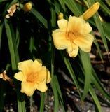 Colore giallo daylily Immagine Stock Libera da Diritti