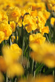 colore giallo dei daffodils fotografie stock