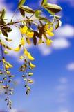 colore giallo dei fiori Fotografia Stock