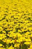 colore giallo dei fiori Fotografie Stock