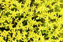 Colore giallo dei fiori Fotografie Stock Libere da Diritti