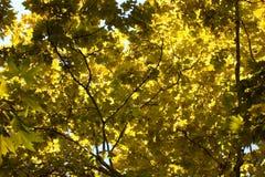 colore giallo dei fogli Immagini Stock