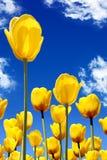 colore giallo dei tulipani Fotografie Stock
