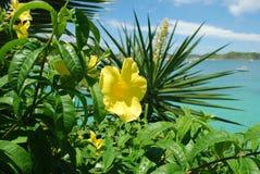 Colore giallo del Allamanda Fotografie Stock