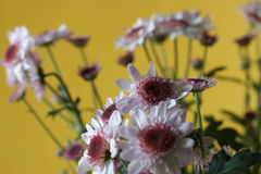Colore giallo del crisantemo Immagine Stock