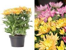 Colore giallo del crisantemo Fotografia Stock Libera da Diritti
