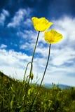 colore giallo del fiore Fotografia Stock