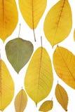 colore giallo del foglio Immagine Stock