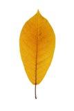 colore giallo del foglio Immagini Stock