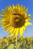 colore giallo del girasole Immagine Stock Libera da Diritti