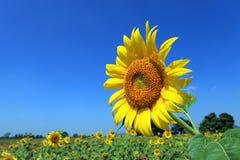 colore giallo del girasole Fotografia Stock Libera da Diritti