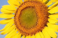 Colore giallo del girasole Fotografia Stock