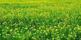 colore giallo del prato Immagini Stock