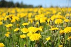 colore giallo del taraxacum immagini stock libere da diritti