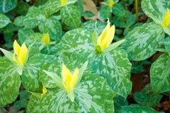 colore giallo del trillium Immagini Stock Libere da Diritti