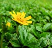 colore giallo del wildflower Fotografia Stock Libera da Diritti