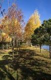 colore giallo dell'albero del foglio di caduta della priorità bassa di autunno Immagini Stock Libere da Diritti