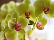 Colore giallo dell'orchidea Fotografie Stock