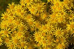 colore giallo della camomilla del backgound Fotografie Stock Libere da Diritti