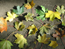 Colore giallo della natura del foglio all'autunno Fotografia Stock
