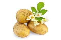 Colore giallo della patata con un fiore Fotografia Stock