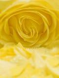 Colore giallo di rosa e petali Immagine Stock Libera da Diritti