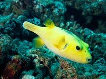 Colore giallo di Tetrodon (nigropuntatus di Arothron) Fotografia Stock Libera da Diritti