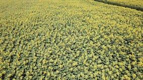 colore giallo floreale dei girasoli del fiore del campo Paesaggio rurale meraviglioso del giacimento del girasole nel giorno sole archivi video