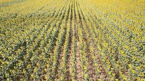 colore giallo floreale dei girasoli del fiore del campo Paesaggio rurale meraviglioso del giacimento del girasole nel giorno sole stock footage