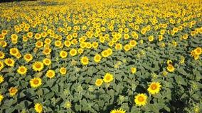 colore giallo floreale dei girasoli del fiore del campo Paesaggio rurale meraviglioso del giacimento del girasole nel giorno sole video d archivio