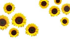 colore giallo floreale dei girasoli del fiore del campo fotografia stock libera da diritti