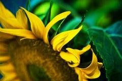 colore giallo floreale dei girasoli del fiore del campo Fotografia Stock